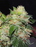White Beelze Bubba