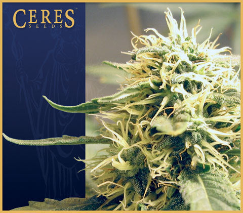 Kush Cannabis Seeds