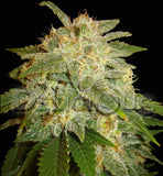 La Bella Afrodita Automatic Cannabis Seeds.