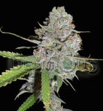 La Diva Automatic Cannabis Seeds