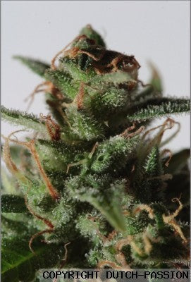 La Lybella Cannabis Seeds
