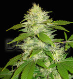 La Musa Automatic Cannabis Seeds