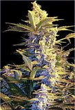 Easy Ryder Marijuana Seeds