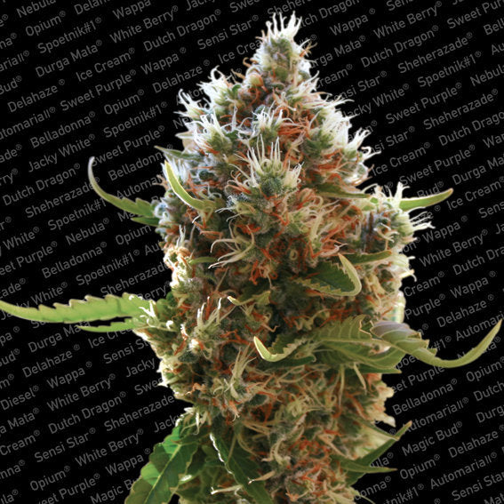 Lucid Bolt Marijuana Seeds