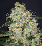 Madness Marijuana Seeds