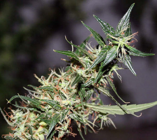 Mango Haze Marijuana Seeds