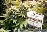Masterkush Marijuana Seeds