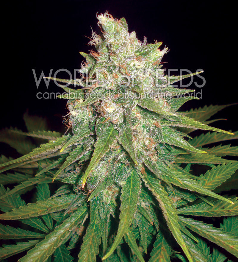 Mazar x Great White Shark Marijuana Seeds