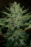 Medicine Man Marijuana Seeds