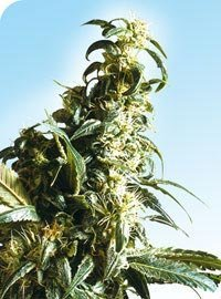 Mexican Sativa Marijuana Seeds