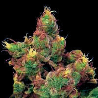 Midnight Kush Marijuana Seeds