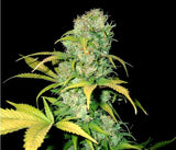 Malawi Gold Marijuana Seeds