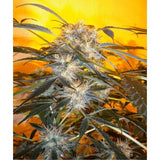 Nirvana Sky (Super Auto) Marijuana Seeds