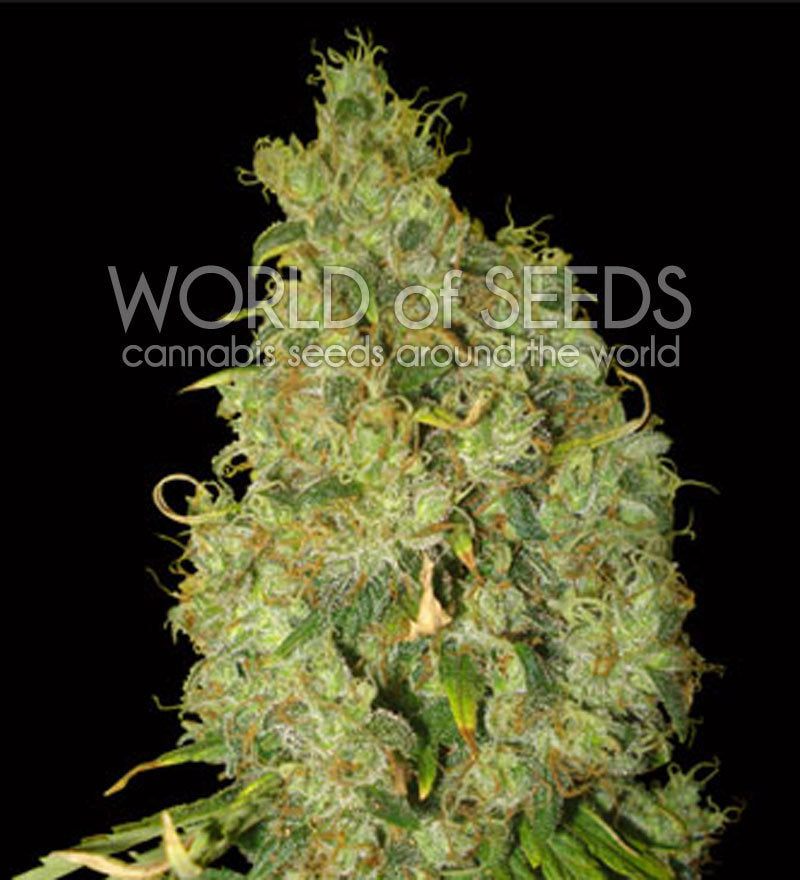 Northern Light x Skunk Marijuana Seeds