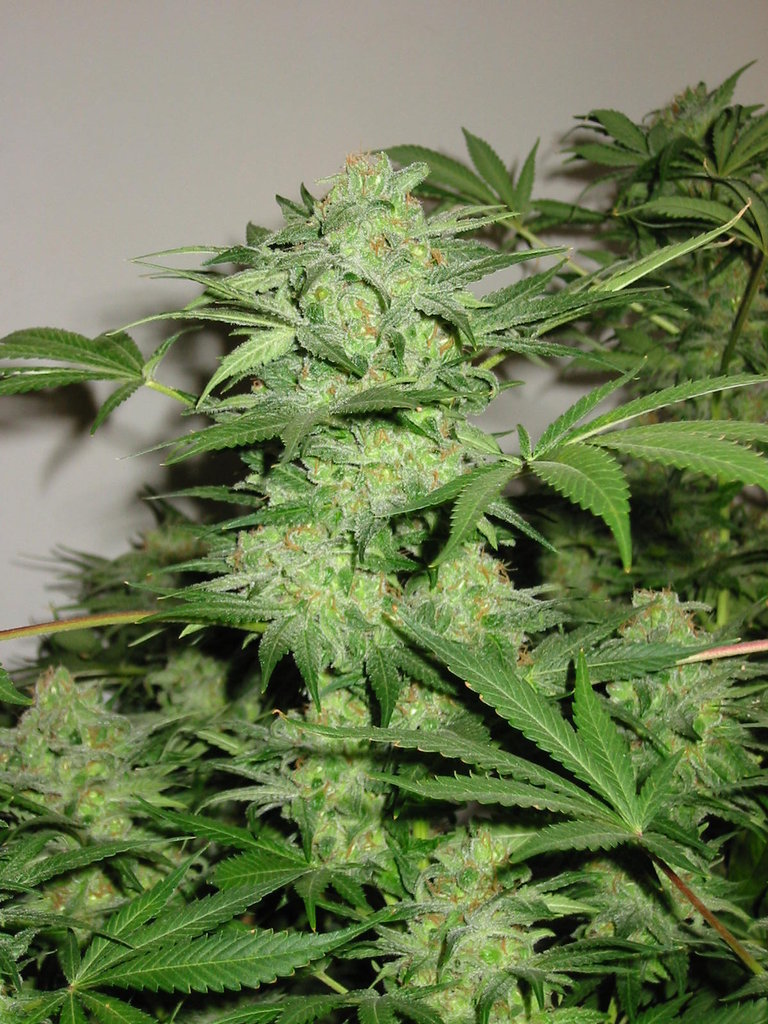 Auto Northern Lights  Marijuana Seeds