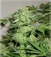 Northern Lights Marijuana Seeds