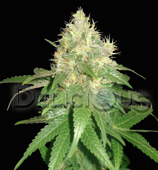 Northern Light Blue Marijuana Seeds