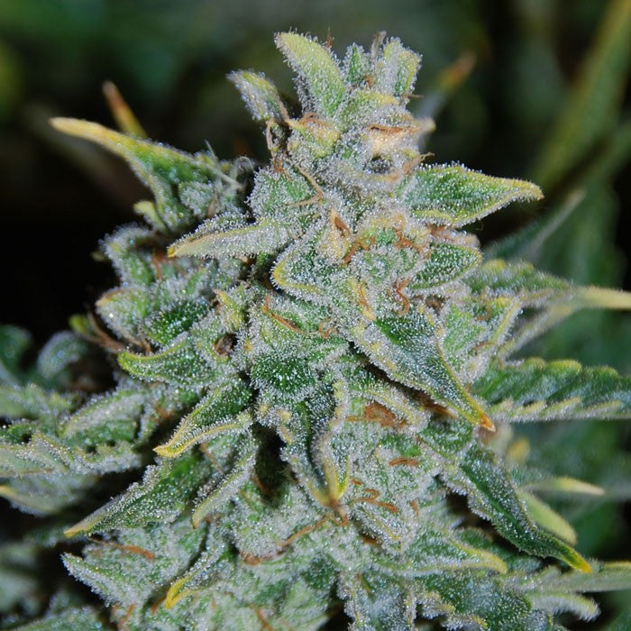 Northern Light Blue Automatic Marijuana Seeds