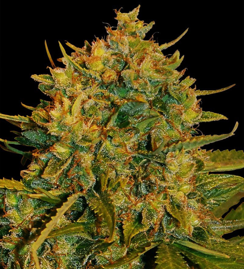 Northern Light x Big Bud Automatic Marijuana Seeds