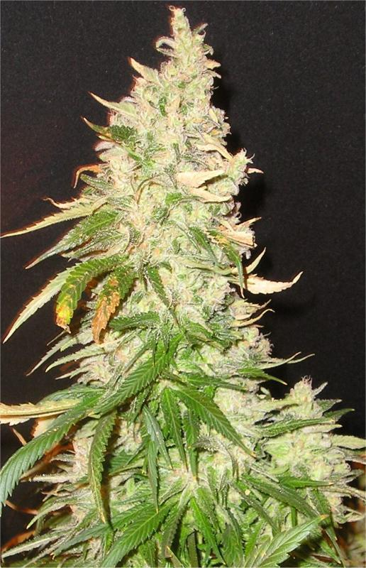 Northern Soul Marijuana Seeds