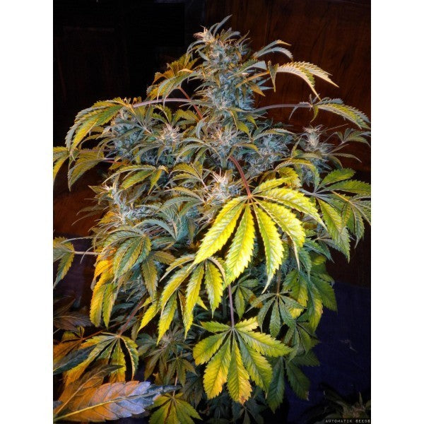 Number One (Super Auto) Marijuana Seeds