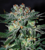 Obsession Marijuana Seeds