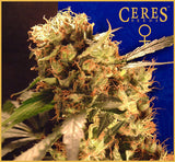 Orange Bud Marijuana Seeds