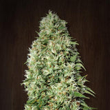 Orient Express Marijuana Seeds