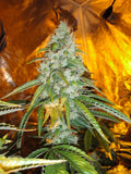 Original Sour Diesel Marijuana Seeds