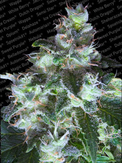 Original White Widow (IBL)