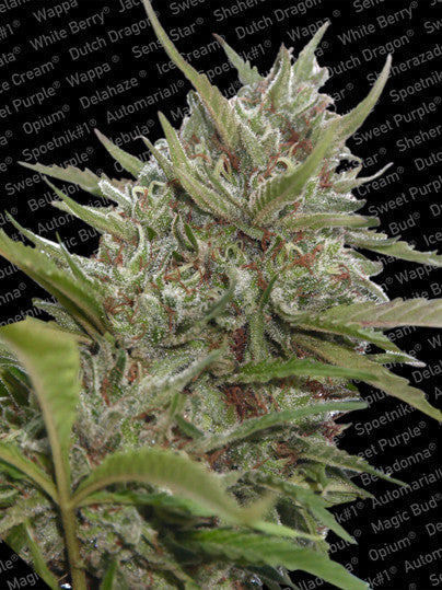 Auto Whiteberry Marijuana Seeds