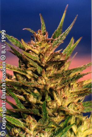 Passion #1 Marijuana Seeds