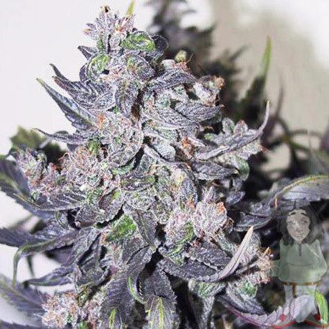 Blue Mistic Marijuana Seeds