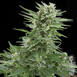 Easy Bud Marijuana Seeds
