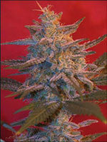 Northern Light Marijuana Seeds