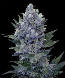 Northern Light Automatic Marijuana Seeds