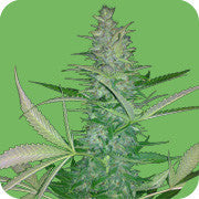 Big Low Marijuana Seeds