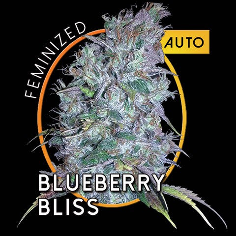 Blueberry Bliss Auto