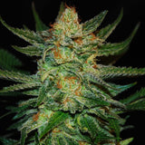 CBD Black Diesel Feminized Cannabis Seeds