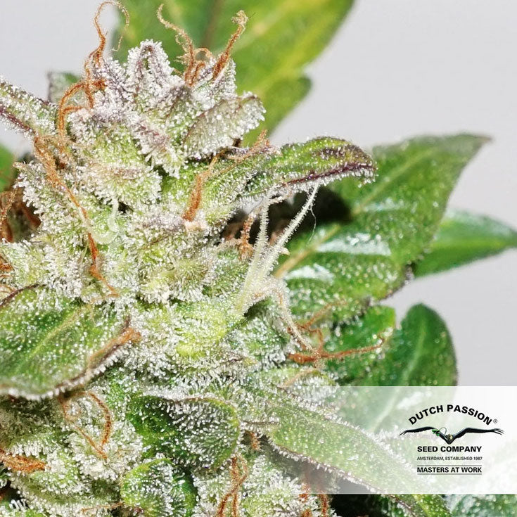 Dutch Passion Compassion Lime CBD Auto Feminised Marijuana Seeds