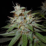 Cheese Feminized Cannabis Seeds