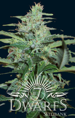 Colossus Marijuana Seeds