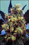 Mind Bender Marijuana Seeds