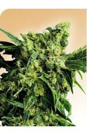 Mr Nice G12 x Hashplant Marijuana Seeds