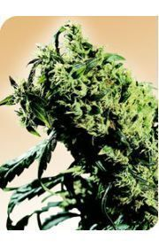 Northern Lights #5 x Haze Marijuana Seeds