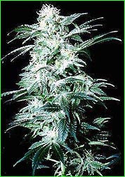 Northern Light Special Marijuana Seeds