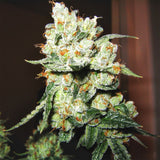OG Kush Feminized Cannabis Seeds