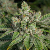 Stardawg Feminised Cannabis Seeds