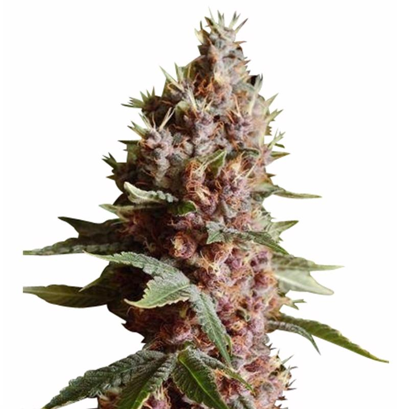 Strawberry Zombie Feminized Cannabis Seeds