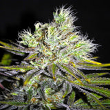 CBD White Widow Feminised Cannabis Seeds